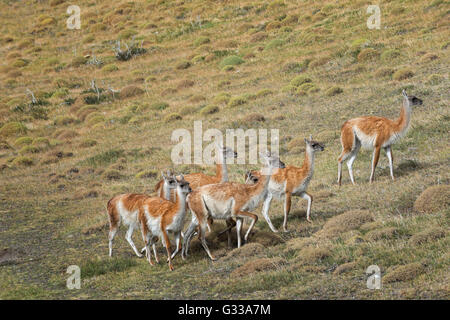 Group of Guanacos (Lama guanicoe) in the steppe, Torres del Paine National Park, Chilean Patagonia, Chile - Stock Photo