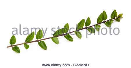 boxwood branch isolated on white background - Stock Photo