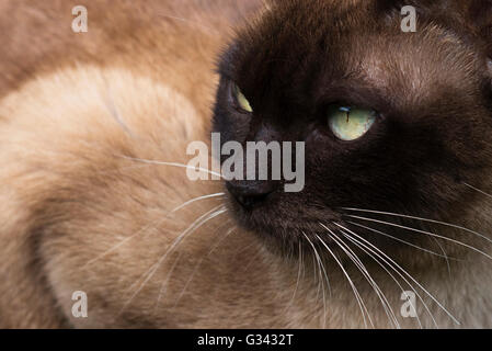 Burmese cat in amongst the foliage - Stock Photo