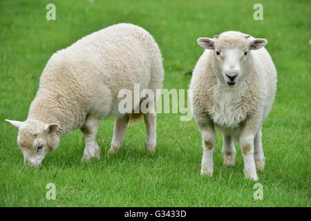 Two Welsh lambs grazing on lush fresh grass in a field. - Stock Photo