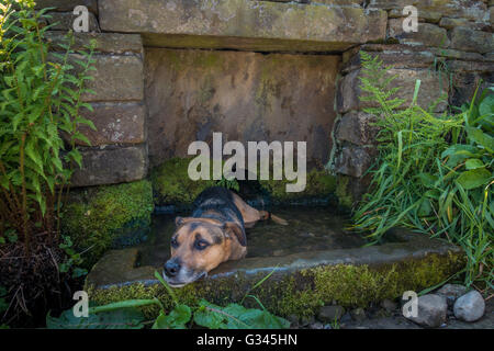 Dog cooling off in a stone water trough built into a wall, UK - Stock Photo