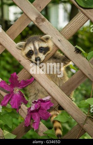 A baby raccoon climbing in the garden - Stock Photo