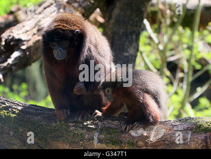 Mother South American Coppery or copper coloured Titi Monkey (Callicebus cupreus) with her baby - Stock Photo