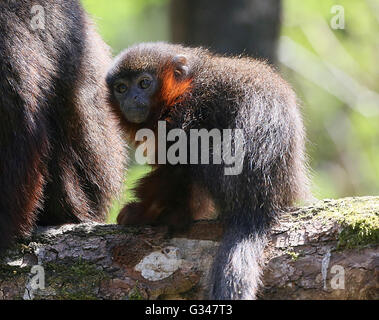 Family of South American Coppery or copper coloured Titi Monkeys (Callicebus cupreus) - Stock Photo