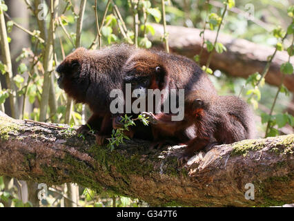 Family of South American Coppery or copper coloured Titi Monkeys (Callicebus cupreus) - Stock Photo