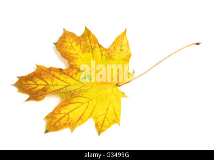 Yellowulticolor autumn maple-leaf. Isolated on white background - Stock Photo