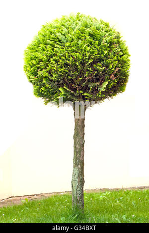 tree thuja isolated on white - Stock Photo