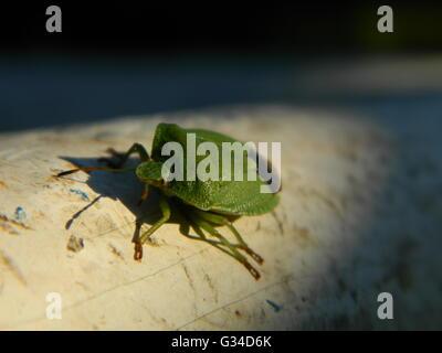 Green shield bug beetle. Palomena prasina, - Stock Photo