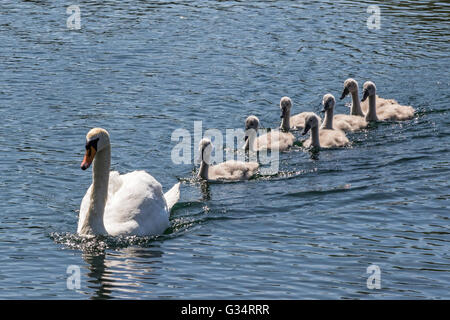 Glasgow, Scotland, UK. 08th June, 2016. A family of swans, including the seven cygnets took a cooling swim in the - Stock Photo