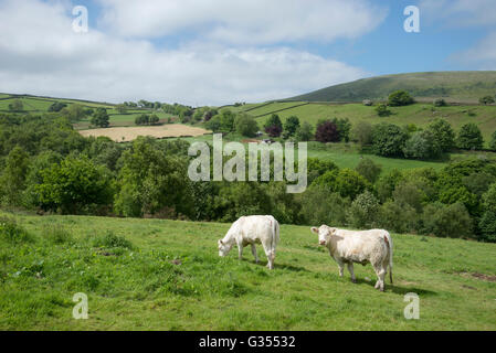 Charolais cows in a field in Northern England on a sunny summer day. - Stock Photo