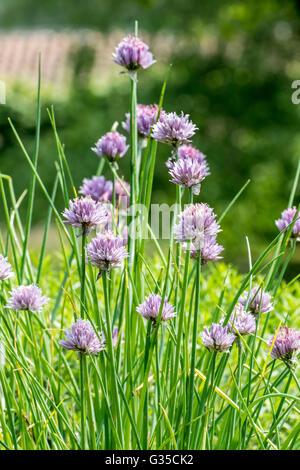 Chives (Allium schoenoprasum) in flower in herb garden - Stock Photo