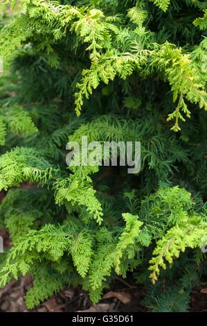 Chamaecyparis FERNSPRAY GOLD, conifer - Stock Photo
