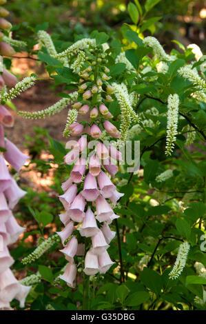 Digitalis purpurea , Apricot Beauty,  Foxglove , Clethera Henry's Garnet in Background, - Stock Photo