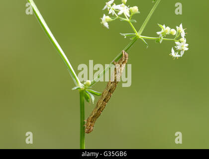 A caterpillar, the larval stage of a butterfly, on a white flower against a blurred green background - Stock Photo