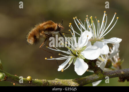 Dark-bordered bee fly (Bombylius major) feeding in flight. Bee mimic in family Bombylidae, with very long proboscis nectaring