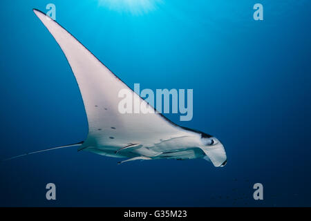 Reef Manta, Manta alfredi, Komodo National Park, Indonesia - Stock Photo