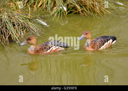 Two Fulvous Whistling Ducks or fulvous tree ducks (Dendrocygna bicolor) swimming on water - Stock Photo