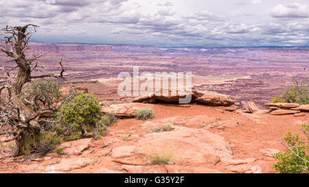 A lone Utah Juniper tree under threatening clouds on the White Rim Overlook Trail, in the Islands in the Sky Dis