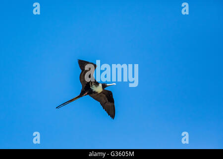 Magnificent Frigatebird, Fregata magnificens, adult female above Fort Jefferson in Dry Tortugas National Park, Florida, - Stock Photo