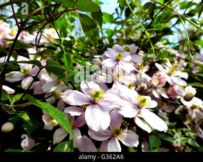 Clematis montana climbing plant with many pink flowers on a sunny day - Stock Photo