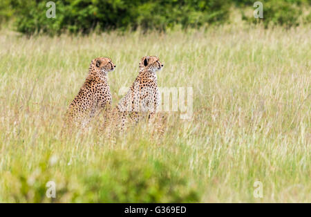 Two cheetahs in Masai Mara sitting in the the grass looking at something, Masai Mara, Kenya , Africa - Stock Photo