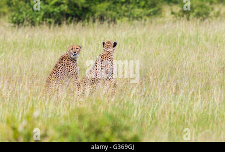Two cheetahs in Masai Mara sitting in the the grass looking at something, one is looking in to the camera, Masai - Stock Photo