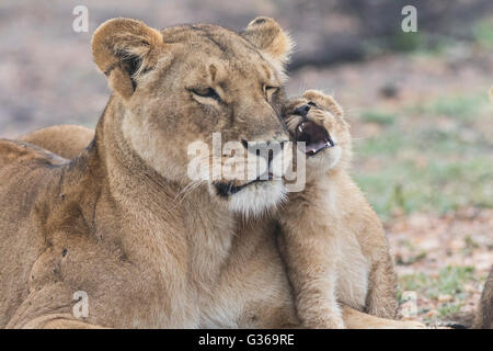 Lioness with cub fondling with each other, Masai Mara, Kenya, Africa - Stock Photo