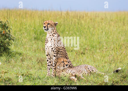 Two cheetahs in Masai Mara on the savanna, one sitting and watching and the other is lying down in the grass resting, - Stock Photo