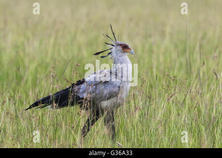 Secretary bird walking in high grass on the savanna in Masai mara, Kenya, Africa - Stock Photo