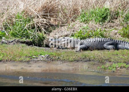 North America, USA, Florida, Myakka River State Park, alligators on shore with young beside den - Stock Photo