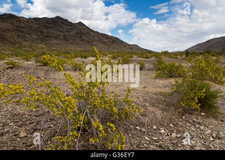 Creosote blooming on a valley floor below Maricopa Peak. South Mountain Park, Arizona - Stock Photo