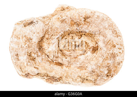 an ancient fossil seashell isolated over a white background - Stock Photo