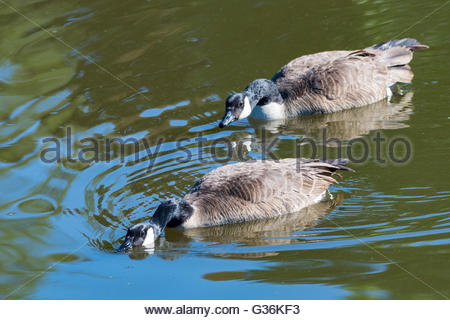 Canadian geese in attack position: birds swiming in a murky pond water near park. - Stock Photo