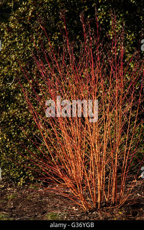 Cornus sanguinea, 'Midwinter Fire', Dogwood 'Midwinter Fire' - Stock Photo