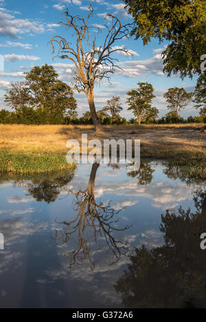 Skeleton of a tree reflected in a waterhole near Nehimba Hwange National park - Stock Photo