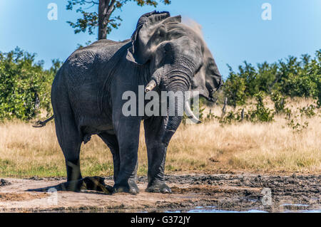 A African Elelphant shaking off the dust at Nehimba in Hwange National Park - Stock Photo