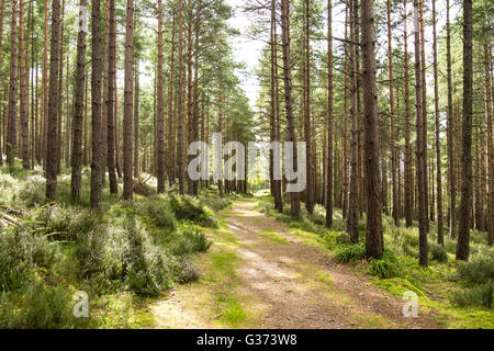 Sun shining through the trees on a woodland path in Scotland - Stock Photo
