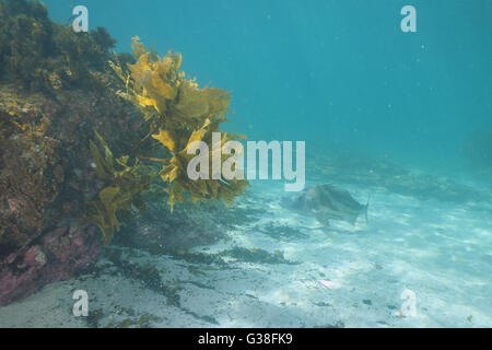 Shy giant boarfish above white sand - Stock Photo