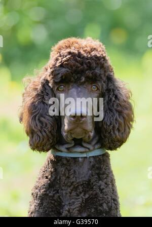 Poodle portrait in the summer with bright green background. Brown standard poodle sitting on the grass with smart - Stock Photo