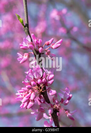 Close up of cherry blossoms on a branch  during the National Cherry Blossom Festival, at Tidal Basin, Washington, - Stock Photo
