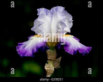 Outstandingly beautiful purple bearded iris in garden. - Stock Photo