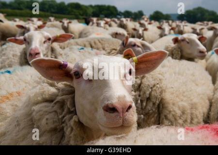 flock of friesland/fresian milking sheep - Stock Photo
