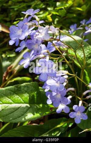 Cape Primrose or Streptocarpus 'Falling Stars' - Stock Photo