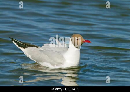 Adult Black-headed Gull Larus ridibundus portrait in summer plumage - Stock Photo