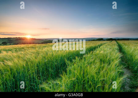 Stunning sunset over a field of barley moving in the breeze in the Cornish countryside - Stock Photo