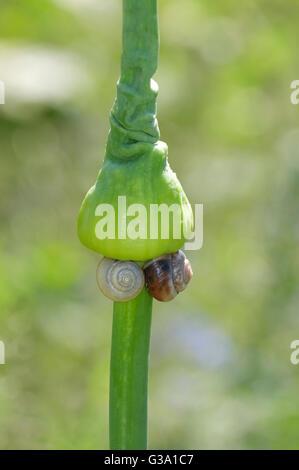 snails on green plant stem in garden - Stock Photo