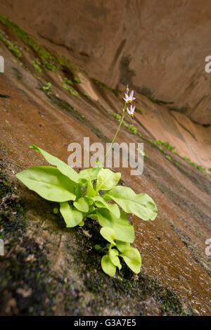 Zion shooting star in bloom, Zion National Park, Utah. - Stock Photo