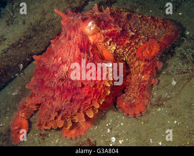 Giant Pacific Octopus, Enteroctopus dofleini, at Seacrest Park, Cove 3, Seattle. - Stock Photo
