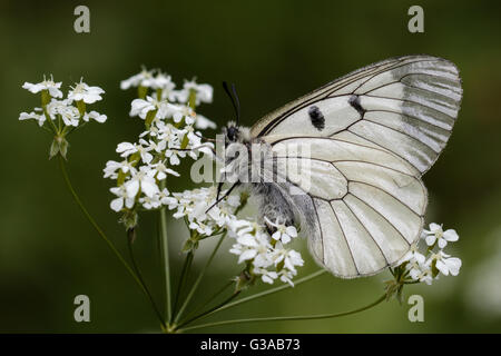 Male Clouded Apollo (Parnassius mnemosyne), sitting on a cow parsley plant. - Stock Photo