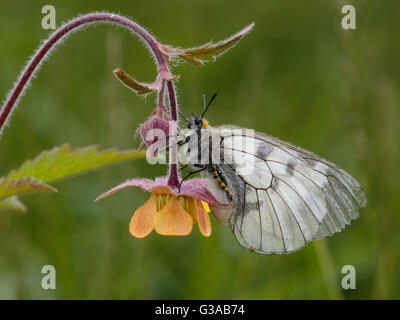 Female Clouded Apollo (Parnassius mnemosyne), sitting on a water avens plant. - Stock Photo